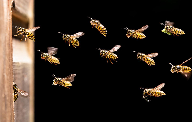 Photo wallpaper insects, stinging stabilizatori, Wasps