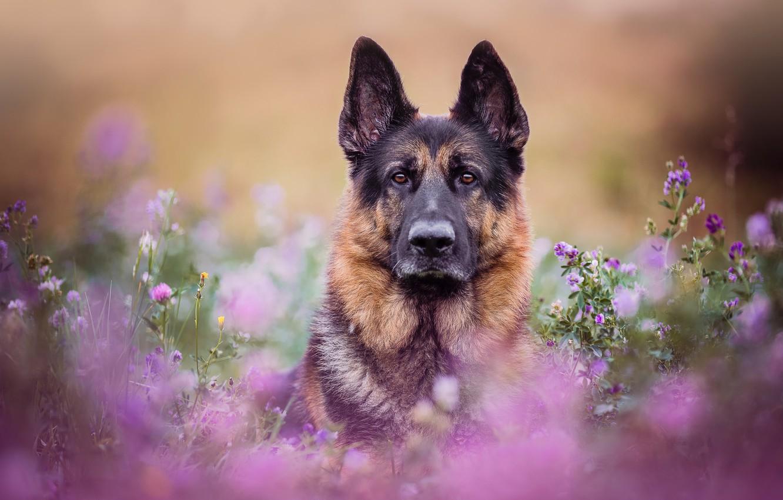 face, flowers, portrait, dog, meadow