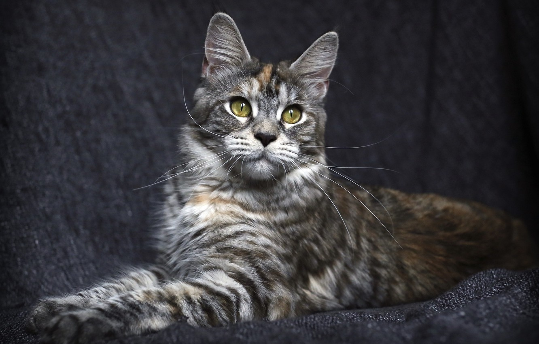 Photo wallpaper cat, cat, look, background