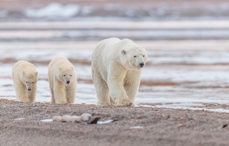 Photo wallpaper water, Alaska, bears, polar bears, bear, cubs, polar bears