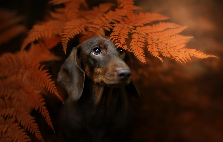 Photo wallpaper autumn, look, face, leaves, background, portrait, dog, Dachshund, fern