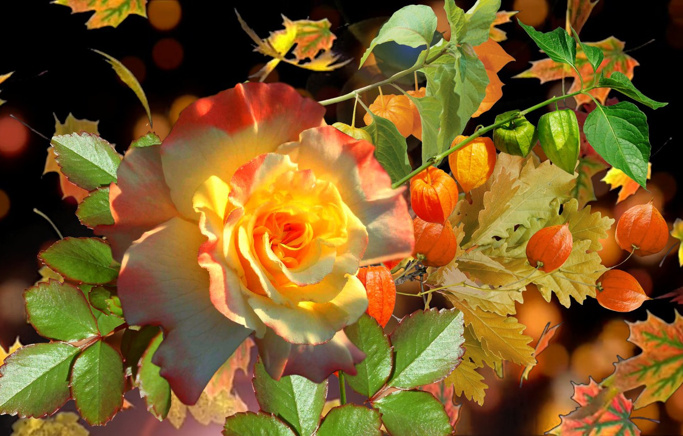 Photo wallpaper autumn, rose, physalis
