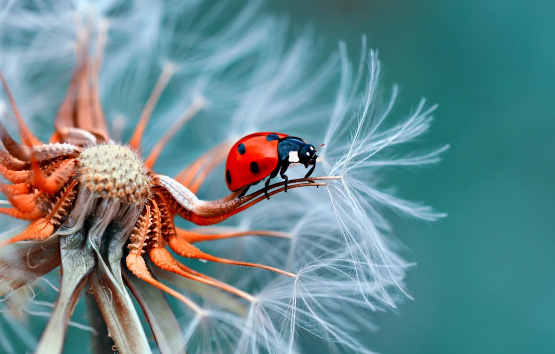 Photo wallpaper dandelion, ladybug, insect
