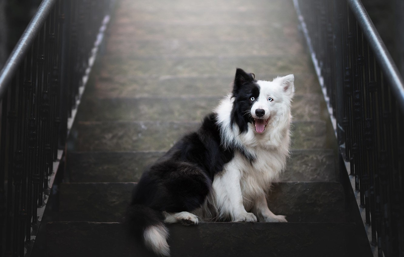 Photo wallpaper language, look, pose, black and white, dog, ladder, railings, stage, sitting, the border collie, luxury
