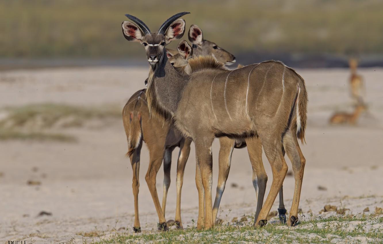 Photo wallpaper animals, nature, antelope, DUELL ©