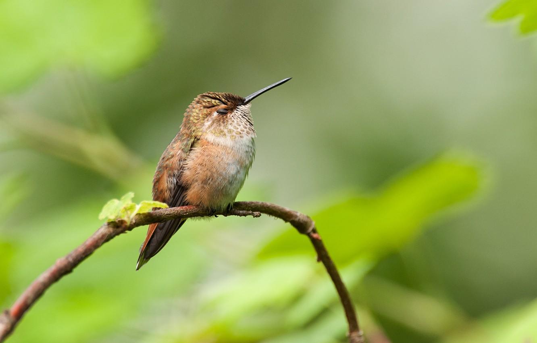 Photo wallpaper branch, beak, Hummingbird, baby