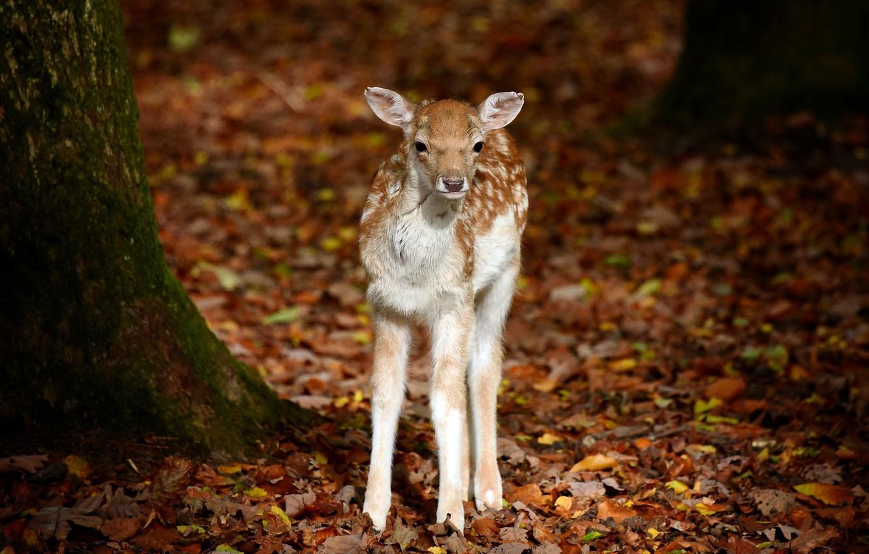 Photo wallpaper Bambi, Schwarze Berge Wildlife Park, Animals