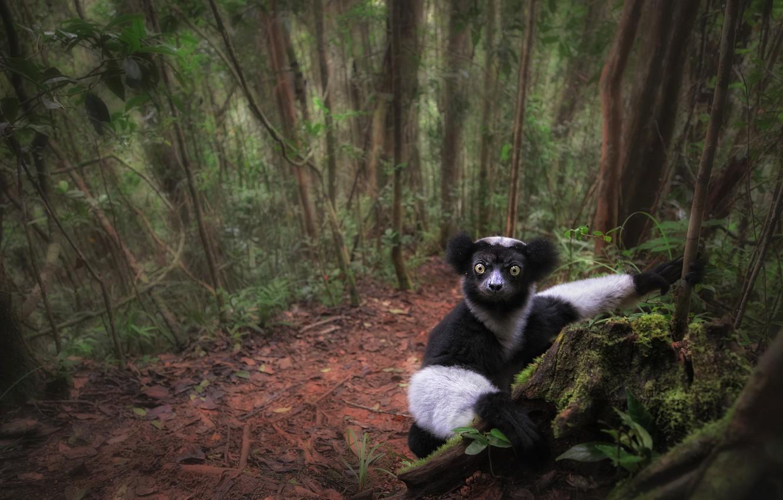 Photo wallpaper forest, look, trees, lemur