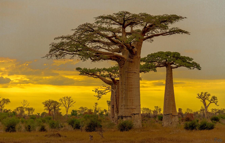 Photo wallpaper baobab, glow, Madagascar