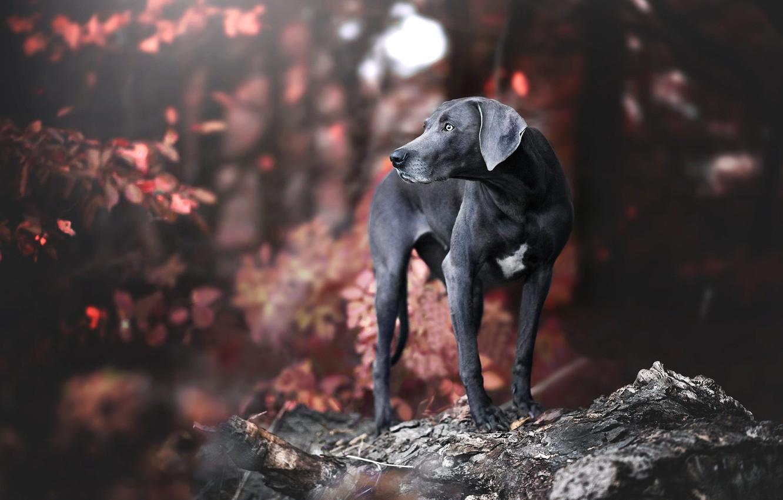 Photo wallpaper autumn, look, pose, dog, black, dog, the Weimaraner