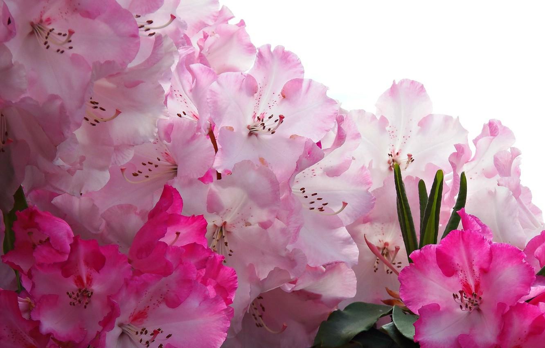 Photo wallpaper macro, pink, rhododendron, Azalea