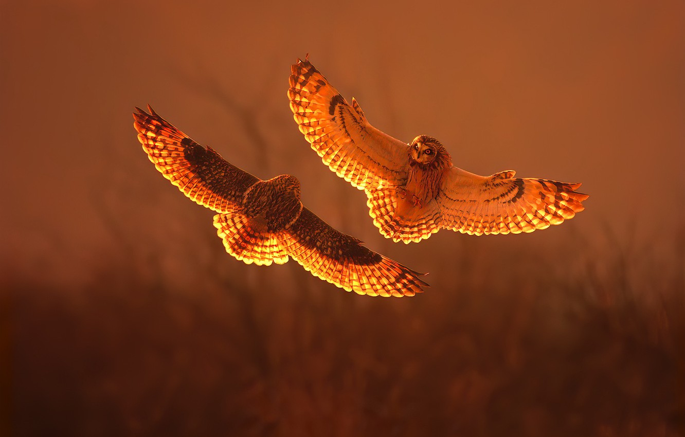 Photo wallpaper sunset, fight, short eared owl