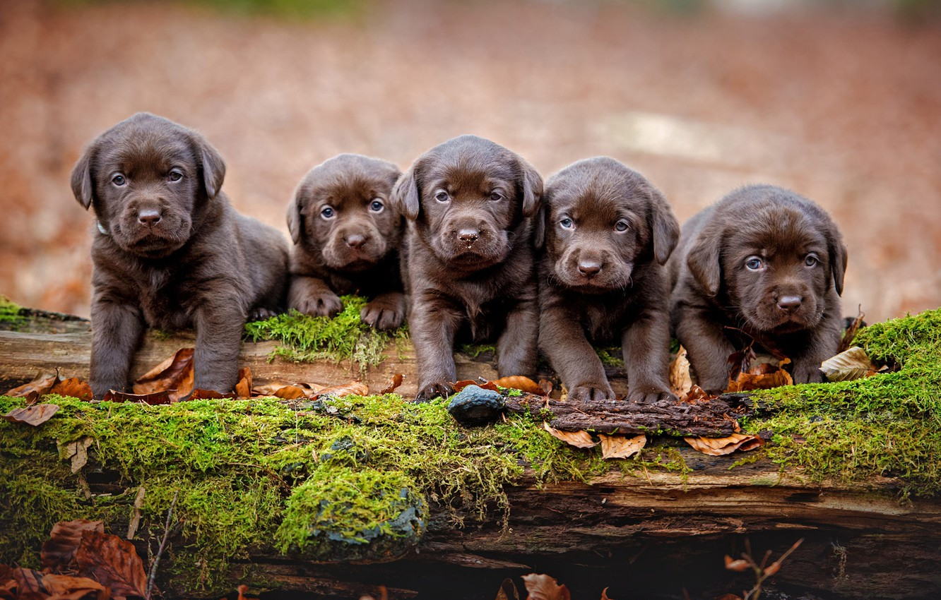 Photo wallpaper autumn, dogs, leaves, nature, background, tree, moss, legs, puppies, snag, log, kids, company, Labrador, brown, …