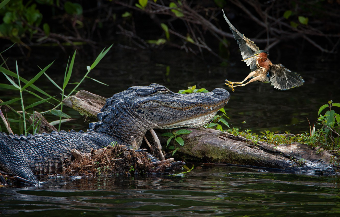 Photo wallpaper bird, predator, crocodile, hunting, pond
