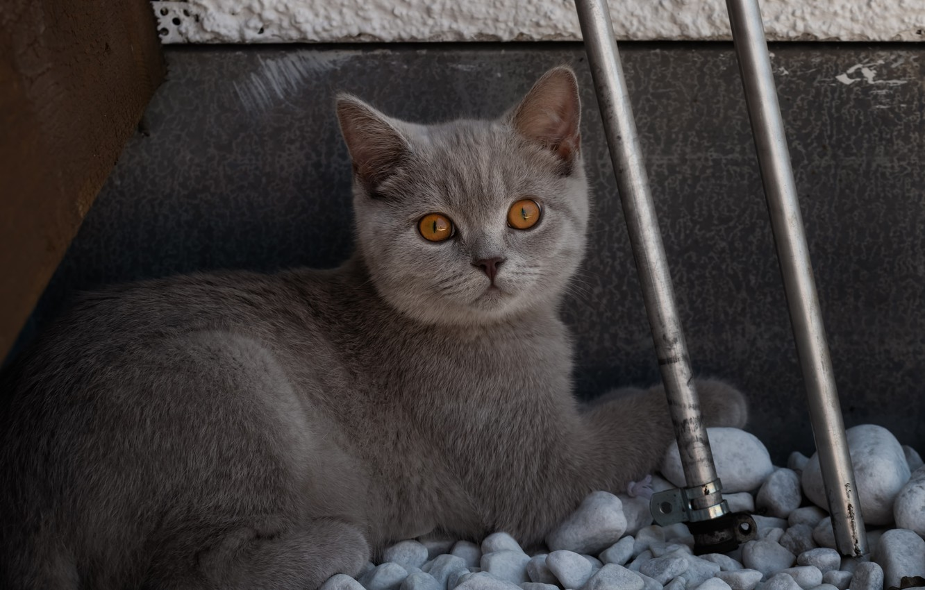 Photo wallpaper cat, cat, look, face, metal, pipe, pose, stones, kitty, grey, background, portrait, baby, lies, kitty, …