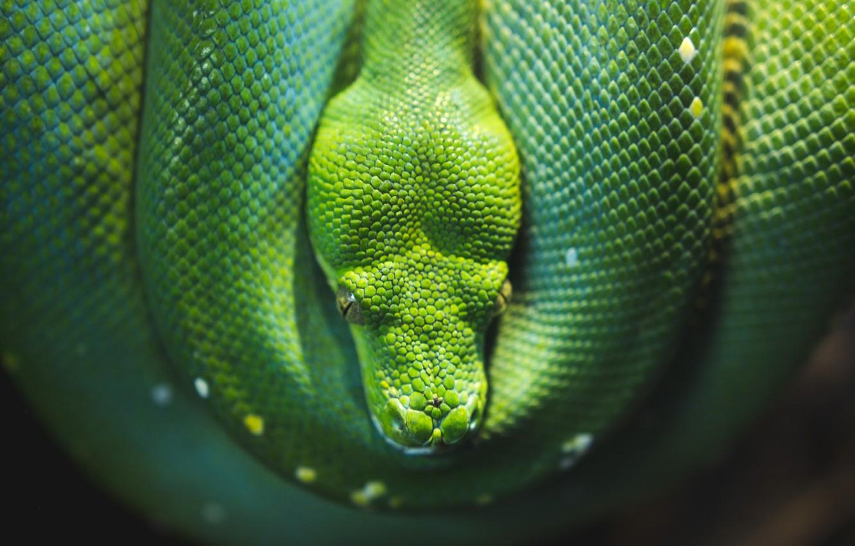 Photo wallpaper Snake, Python, Snake, Python, Reptile, Wildlife