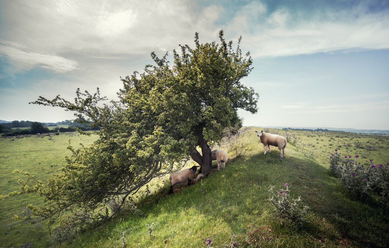 Photo wallpaper nature, tree, sheep