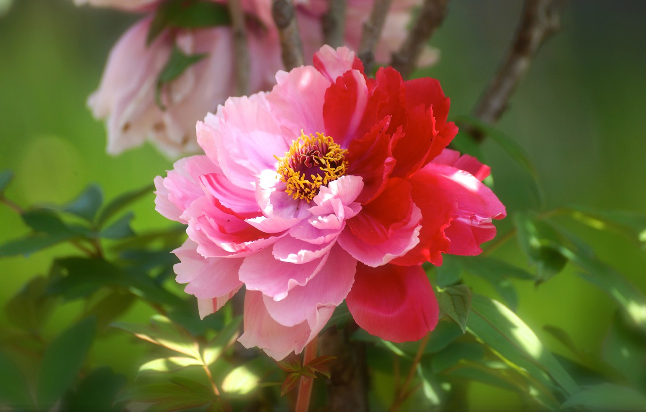 Photo wallpaper flower, leaves, light, red, pink, petals, garden, green background, peony, two-tone