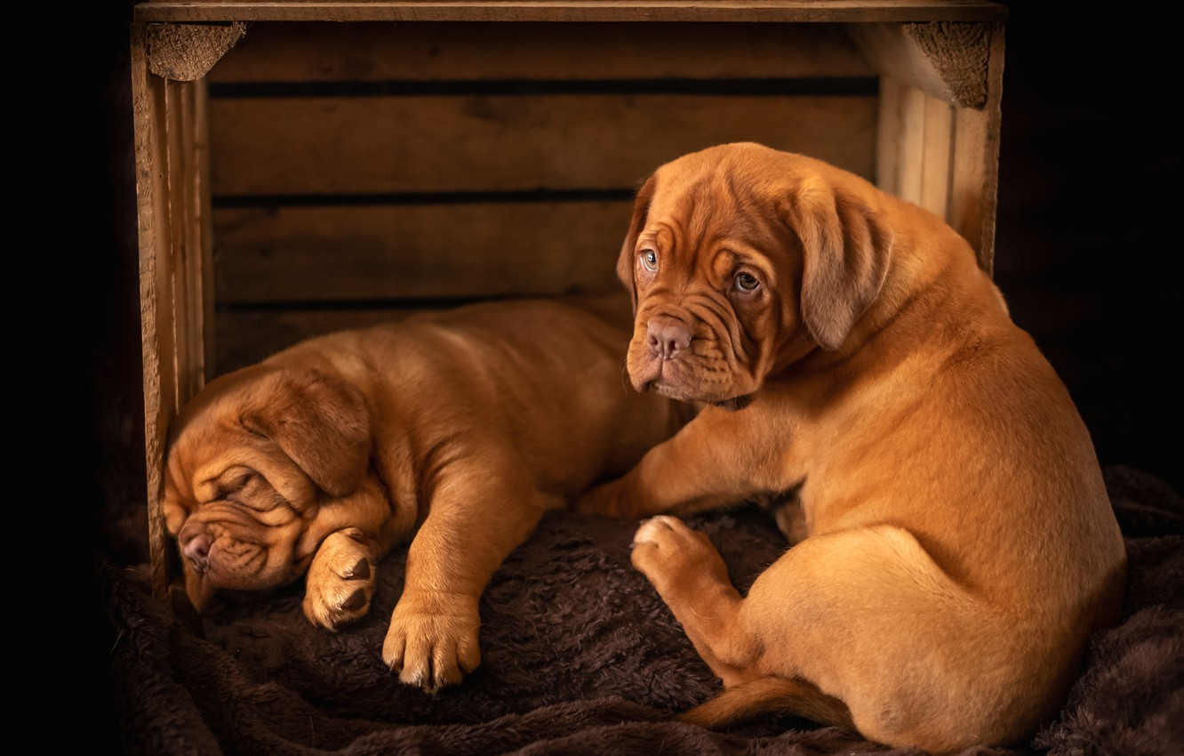 Photo wallpaper dogs, look, pose, the dark background, sleep, puppies, pair, sleeping, puppy, lies, box, red, a …
