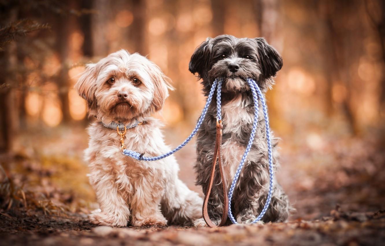 Photo wallpaper dogs, pair, leash, bokeh, two dogs