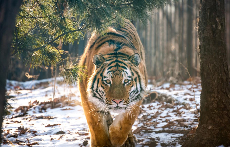 Photo wallpaper forest, snow, trees, tiger, predator, wild cat, Andrey Grachev