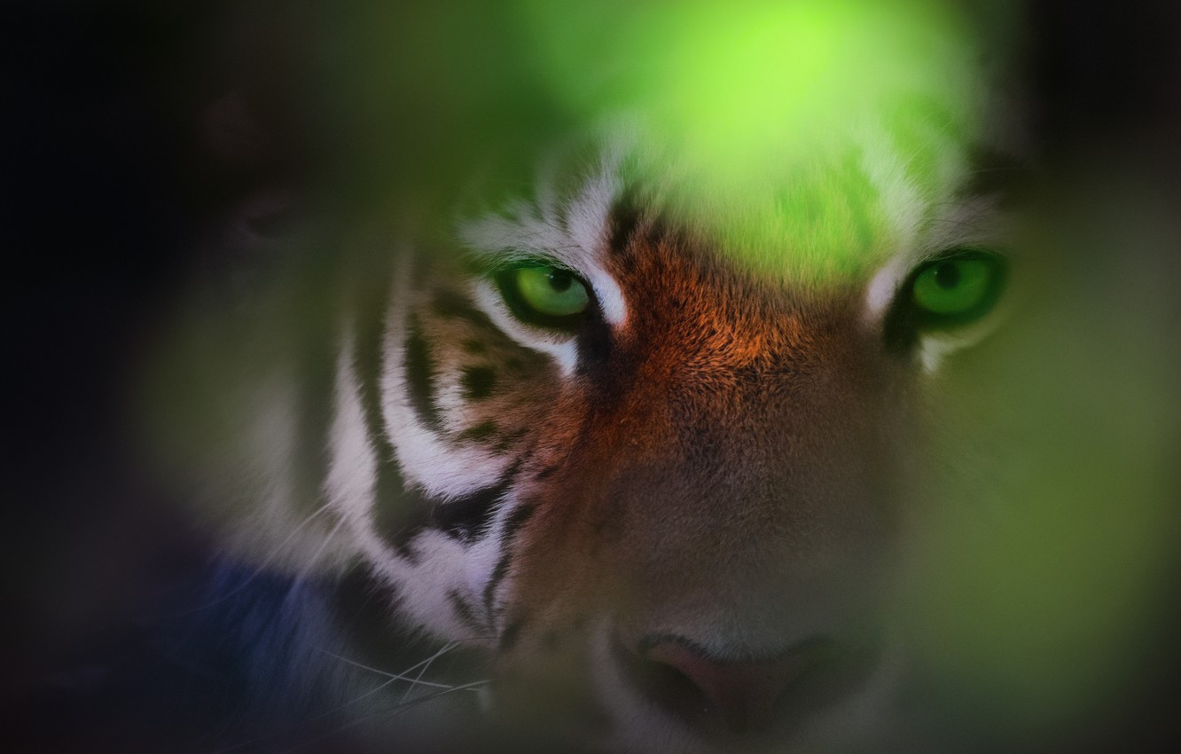 Wallpaper Eyes Look Tiger Bokeh Eye Of The Tiger Images For