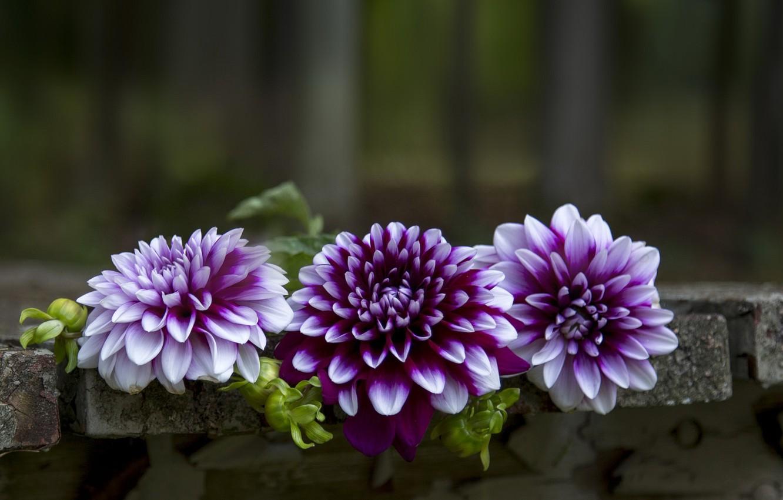 Photo wallpaper flowers, background, dahlias