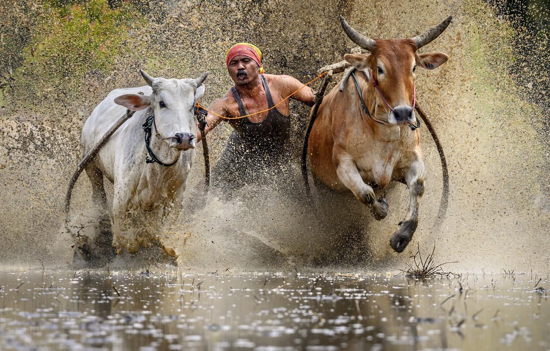 Photo wallpaper race, sport, bulls