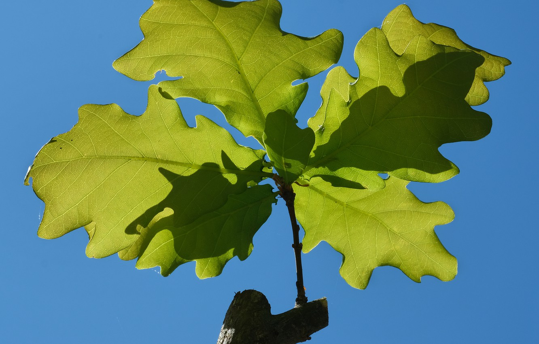 Photo wallpaper leaves, branches, oak