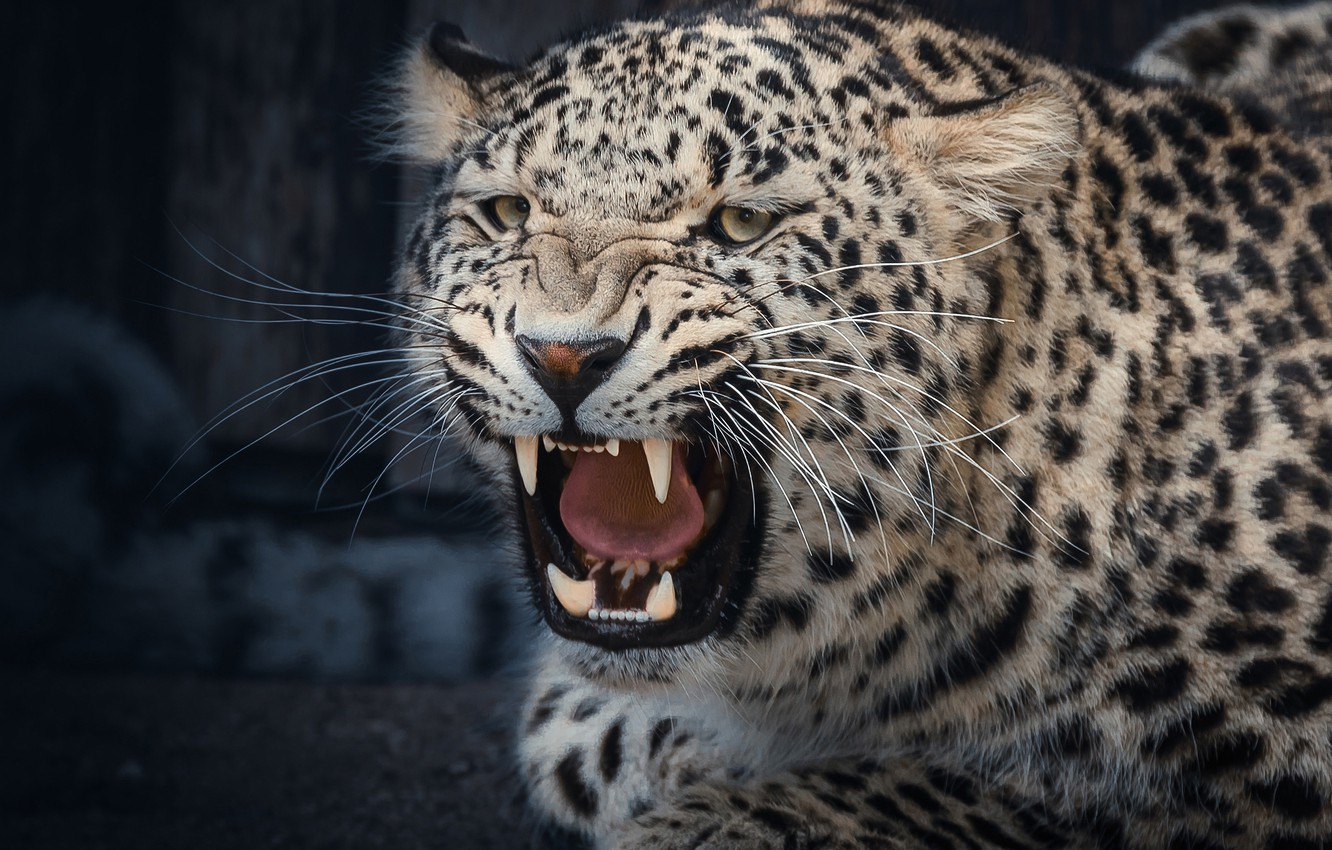 Photo wallpaper face, mouth, leopard, fangs, grin, wild cat, aggressive