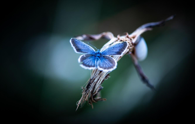 Photo wallpaper macro, butterfly, blue