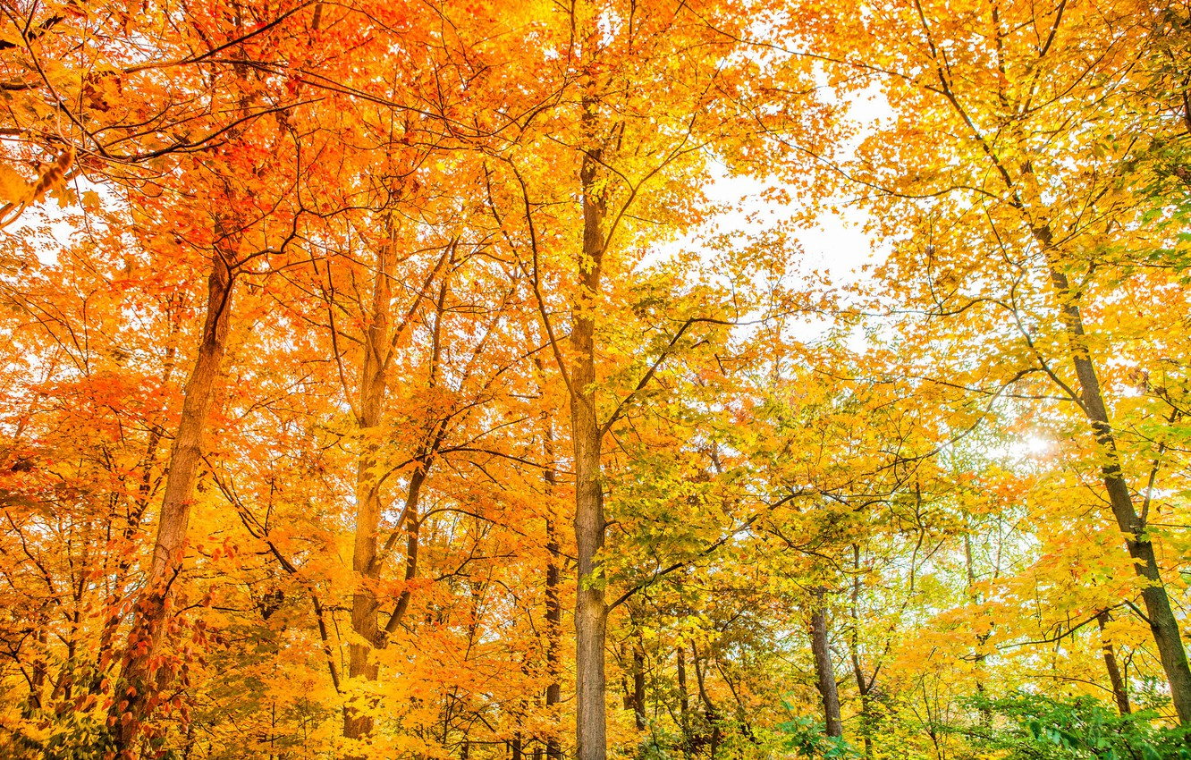 Photo wallpaper autumn, forest, trees, color, beauty, bright, yellow