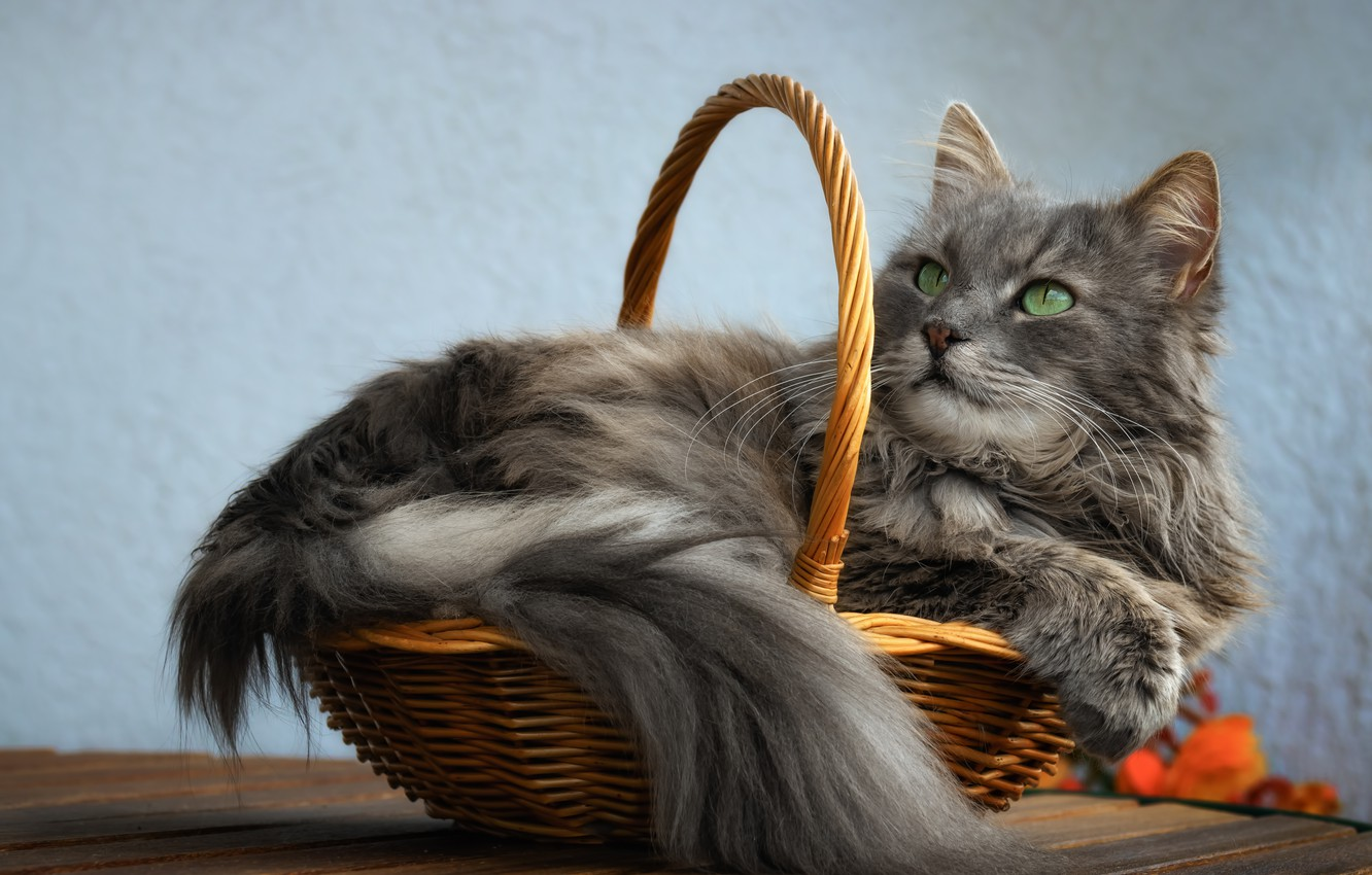 Photo wallpaper cat, cat, look, face, pose, comfort, grey, background, wall, blue, basket, portrait, fluffy, tail, lies, …