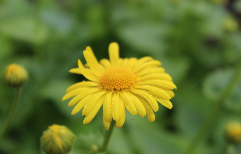 Photo wallpaper yellow, spring, flower