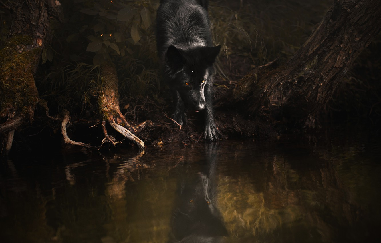 Photo wallpaper forest, pose, reflection, the dark background, tree, shore, dog, black, pond, German shepherd, driftwood
