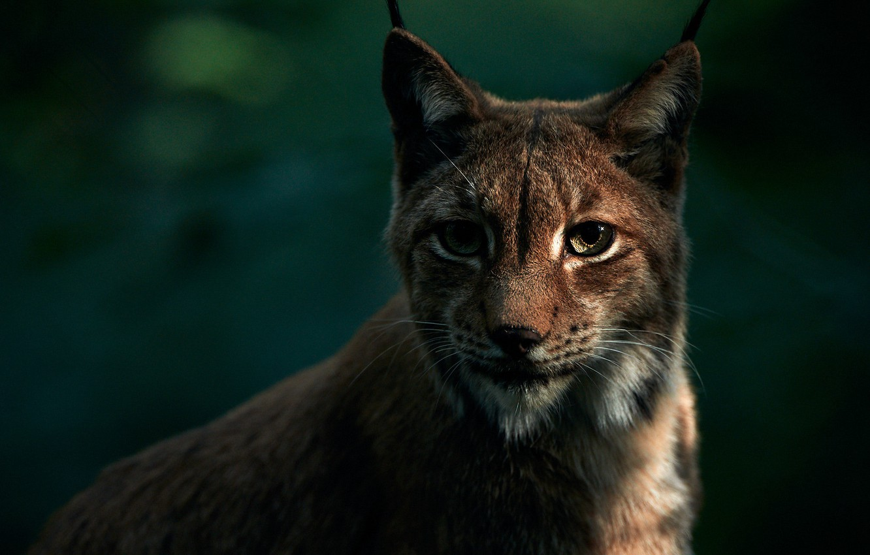 Photo wallpaper eyes, look, face, the dark background, portrait, lynx