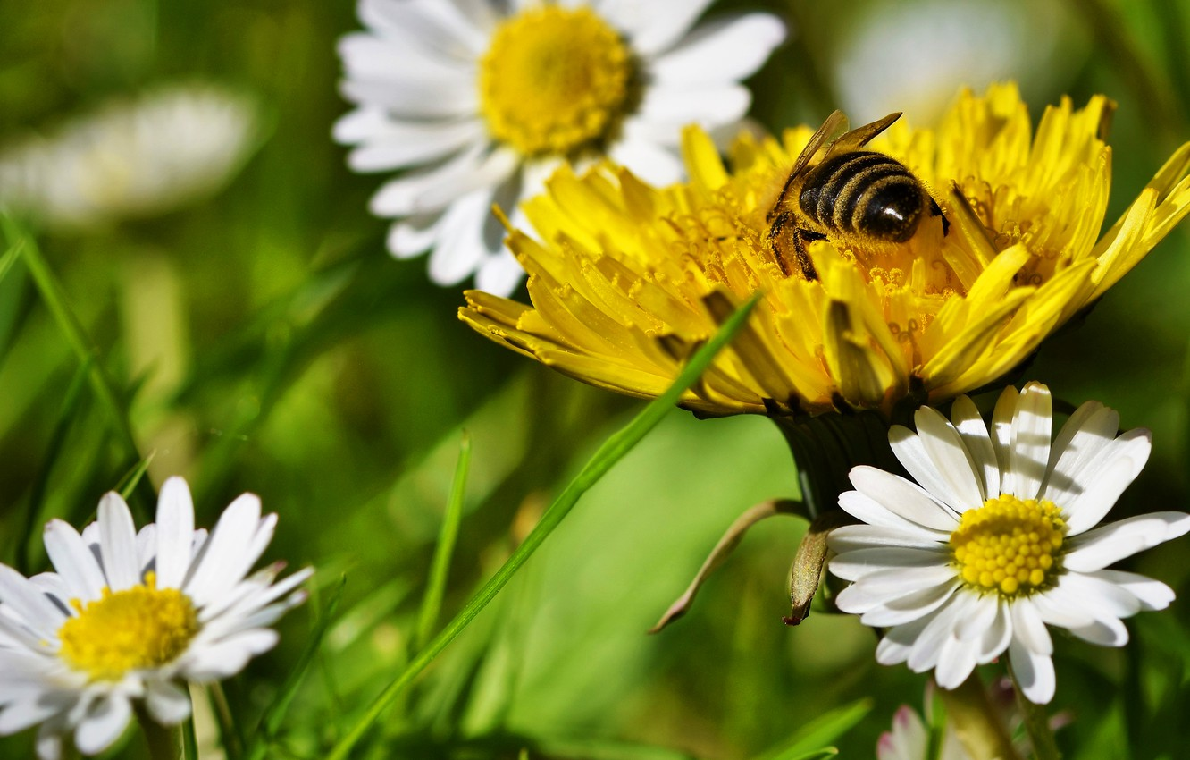 Photo wallpaper greens, flower, summer, grass, flowers, yellow, bee, mood, dandelion, pollen, glade, chamomile, meadow, insect, white, …