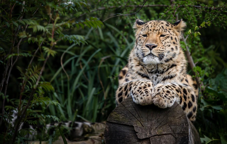 Photo wallpaper predator, paws, leopard, log