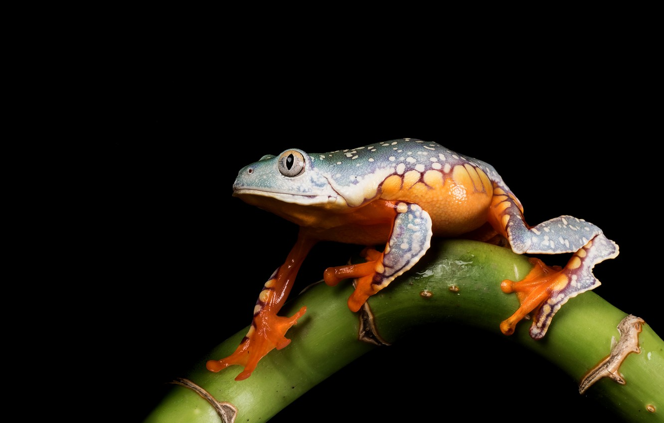 Photo wallpaper look, macro, pose, frog, stem, black background, green, composition, spotted