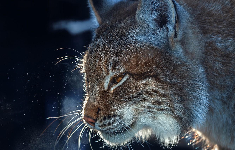 Photo wallpaper face, portrait, profile, lynx, wild cat