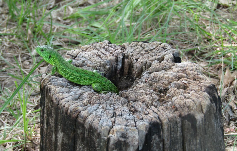Photo wallpaper nature, background, lizard, green, reptile, amphibian