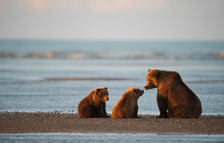 Photo wallpaper bears, Alaska, bears, bear, cubs, Cook Inlet, National Park and preserve lake Clark