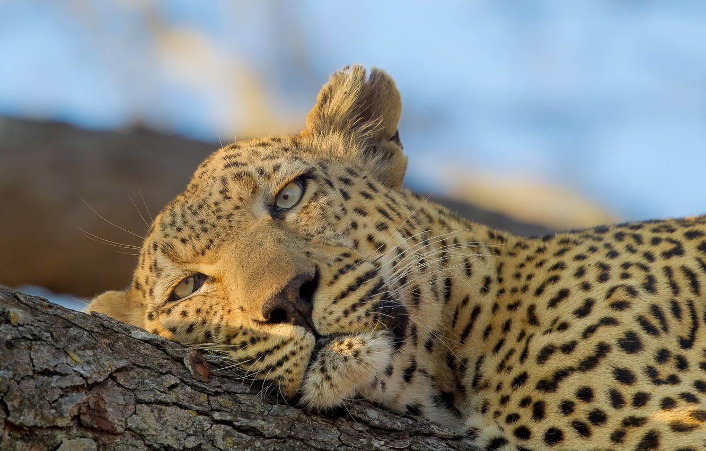 Photo wallpaper look, face, stay, leopard, wild cat
