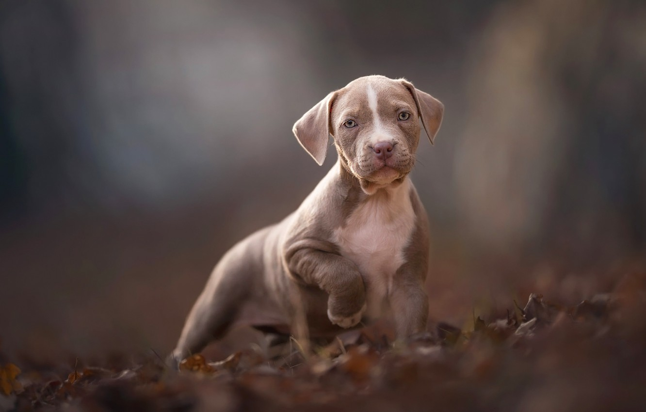Photo wallpaper autumn, look, leaves, nature, pose, grey, background, mood, foliage, dog, paws, baby, puppy, face, brown, …