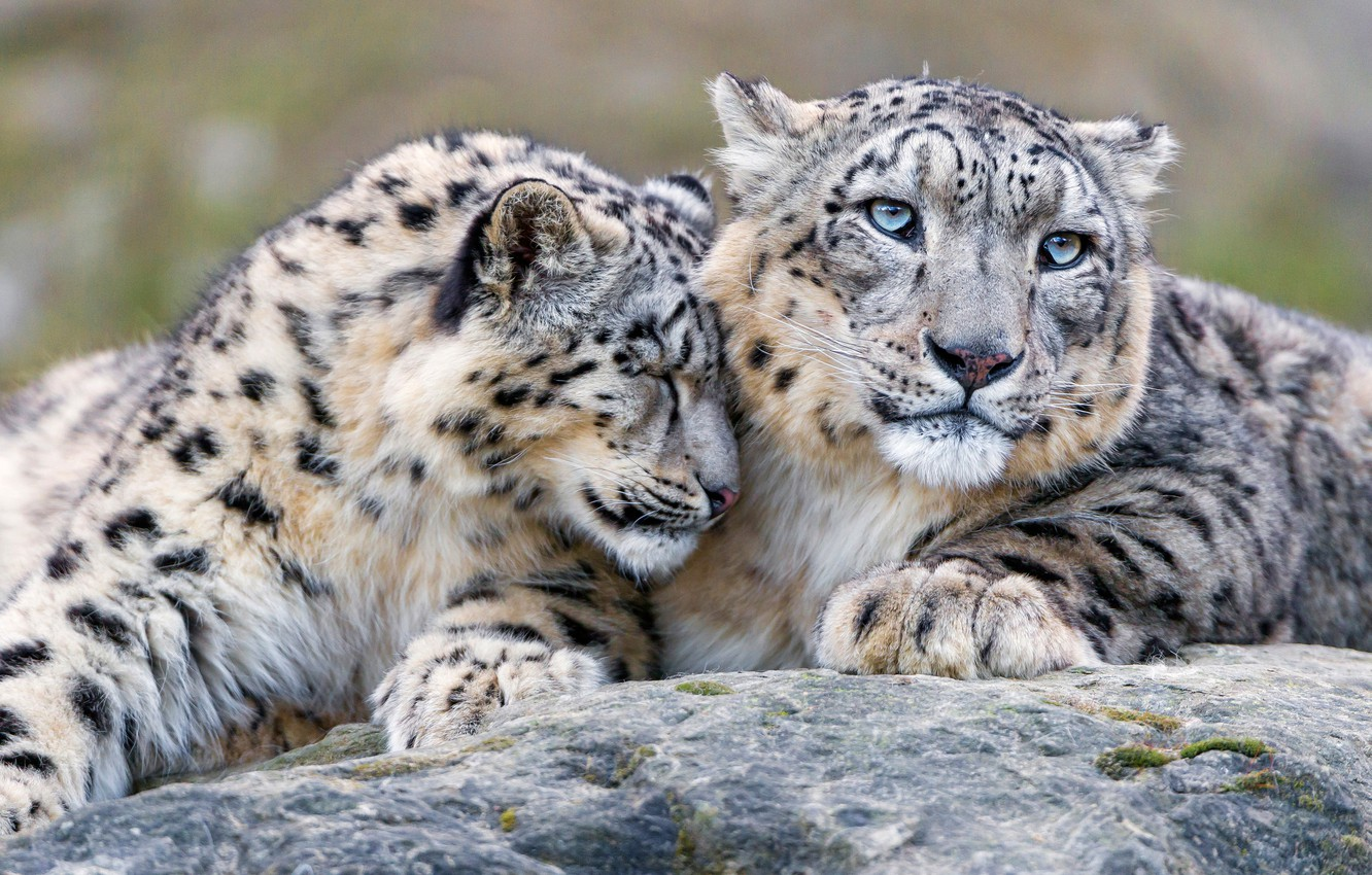 Photo wallpaper look, cats, stone, tenderness, friendship, weasel, snow leopard, wild cats, Duo, relationship, zoo, Barca