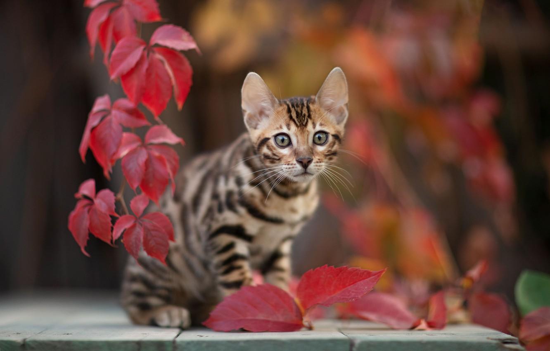 Photo wallpaper cat, look, leaves, kitty, bokeh, cat, Yuriy Korotun