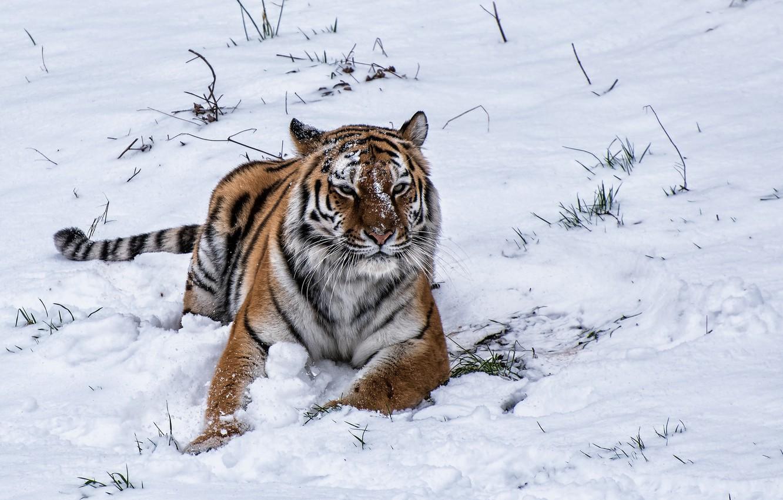 Photo wallpaper winter, snow, tiger, tiger, winter, snow