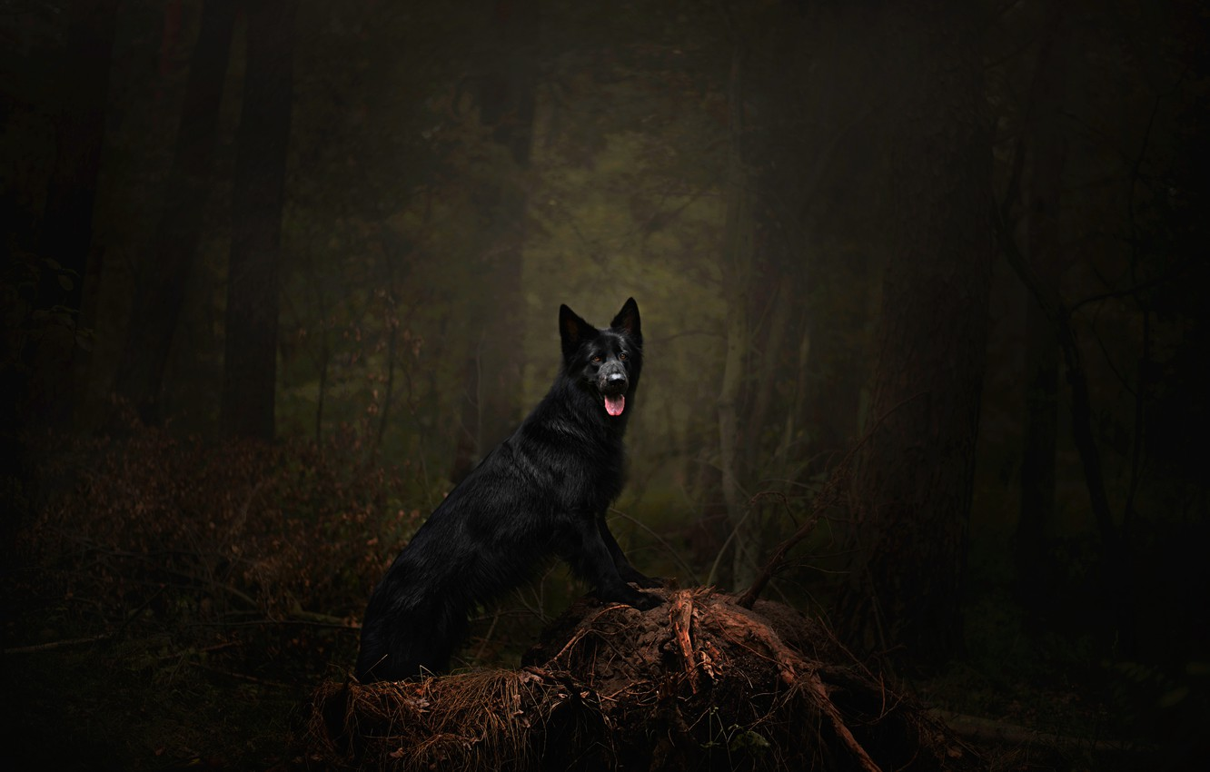Photo wallpaper forest, language, trees, branches, pose, darkness, the dark background, thickets, dog, black, snag, walk, is, ...
