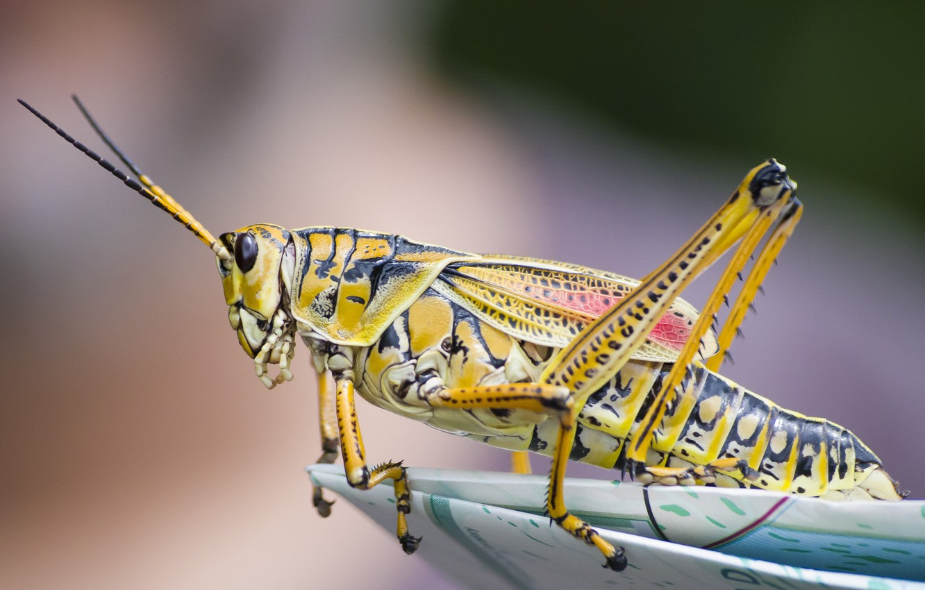 Photo wallpaper close-up, insect, grasshopper