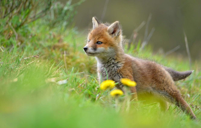 Photo wallpaper grass, look, nature, pose, spring, baby, hill, Fox, profile, dandelions, Fox, Fox